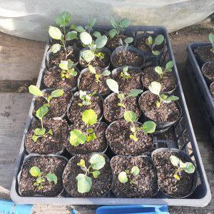 8月に播種・定植する野菜